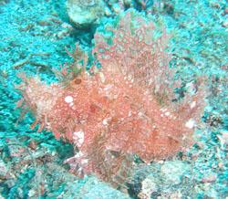 BD-080329-Lembeh-3292194-Rhinopias-frondosa-(Günther.-1892)-[Weedy-scorpionfish].jpg